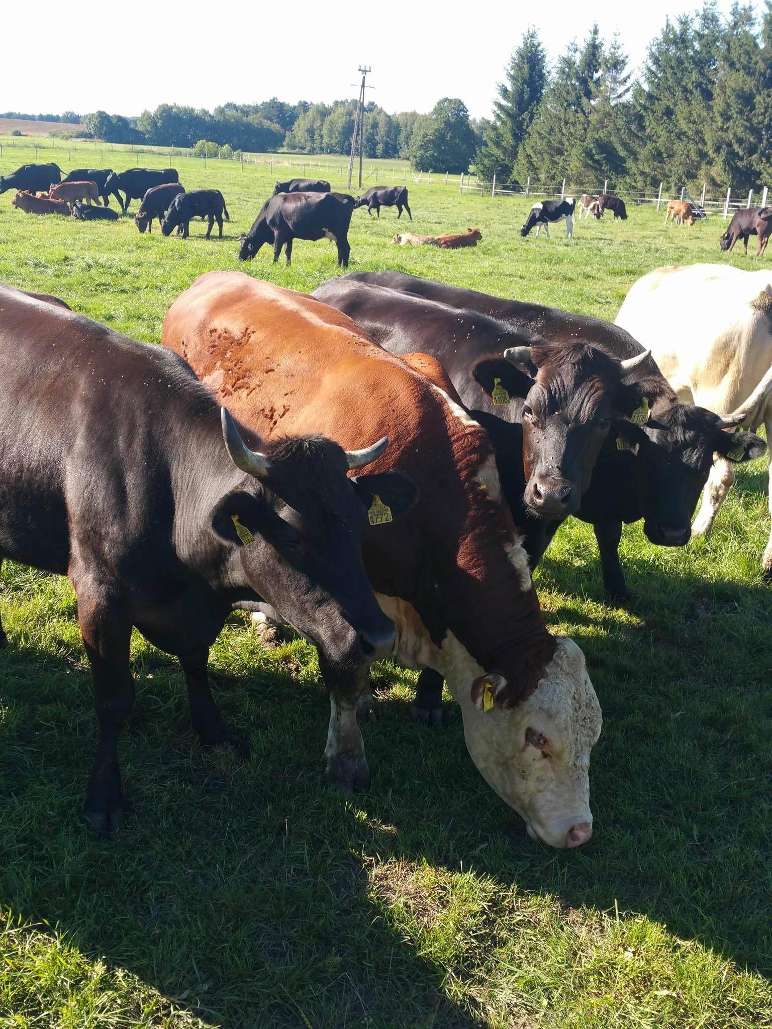 hodowla bydła Nowogard